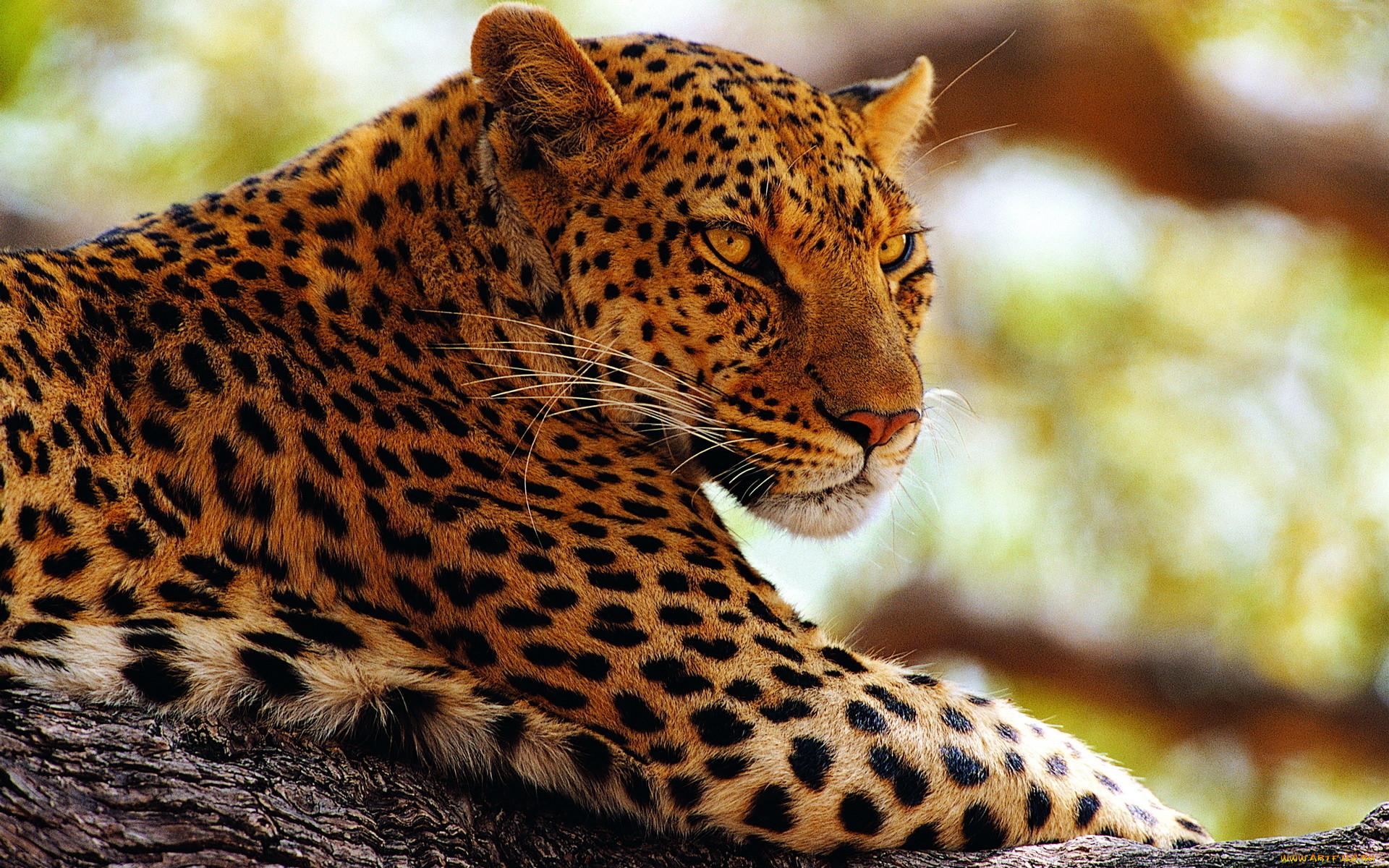 Леопард картинки на телефон леопард
